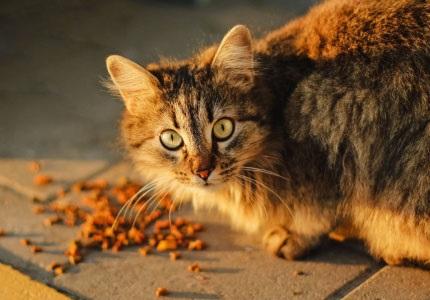 brit cat
